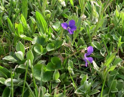Viola sororia (Common Blue Violet), habit, spring, flower, full