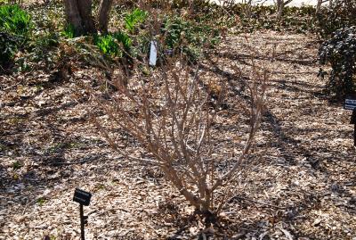 Viburnum 'Cayuga' (Cayuga Viburnum), habit, spring
