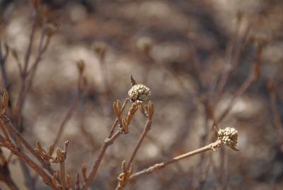 Viburnum 'Cayuga' (Cayuga Viburnum), bud, flower