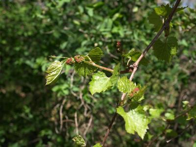 Vitis riparia (Riverbank Grape), leaf, spring, inflorescence