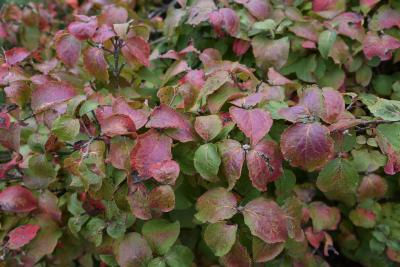 Viburnum carlesii 'Compactum' (Dwarf Korean Spice Viburnum), leaf, fall