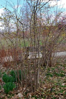 Viburnum farreri 'Album' (White Fragrant Viburnum), habit, Spring