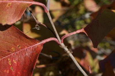 Viburnum lentago (Nannyberry), leaf, petiole
