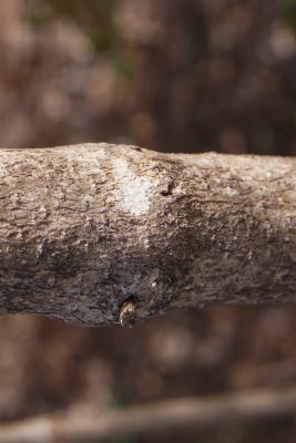 Viburnum opulus var. opulus (European Cranberry-bush), bark, mature