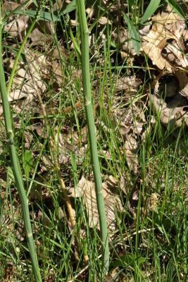 Asparagus officinalis (Asparagus), bark, stem