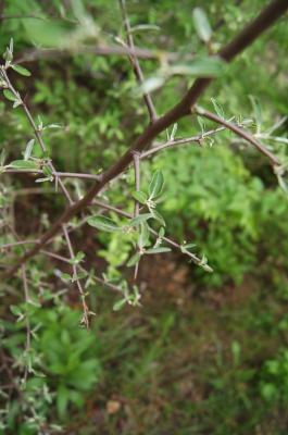 Elaeagnus umbellata (Autumn-olive), bark, twig
