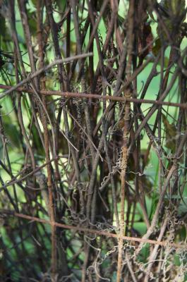 Brunnichia cirrhosa (Buckwheat-vine), bark, twig