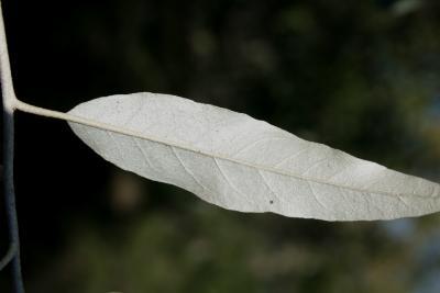 Elaeagnus angustifolia (Russian-olive), leaf, lower surface