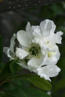 Exochorda racemosa subsp. racemosa (Pearlbush), flower, throat