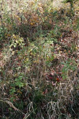 Elymus virginicus (Virginia Wild Rye), habitat
