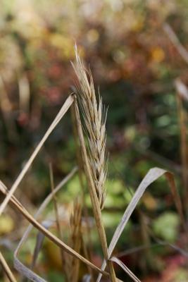 Elymus virginicus (Virginia Wild Rye), infructescence