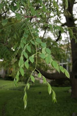 Gymnocladus dioicus (Kentucky Coffeetree), leaf, spring