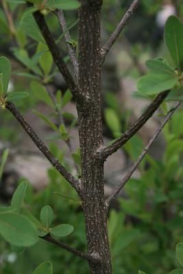 Exochorda racemosa subsp. racemosa (Pearlbush), bark, branch