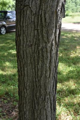 Gymnocladus dioicus (Kentucky Coffeetree), bark, mature