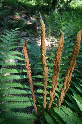 Osmunda cinnamomea (Cinnamon Fern), leaf, fertile