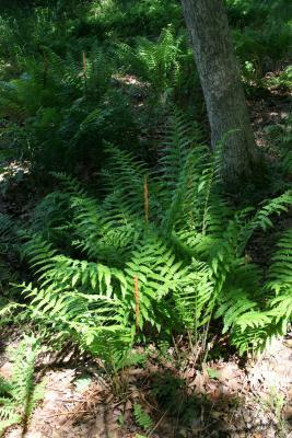 Osmunda cinnamomea (Cinnamon Fern), habit, spring