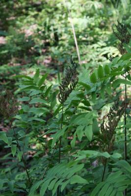 Osmunda regalis var. spectabilis (Royal Fern), leaf, fertile