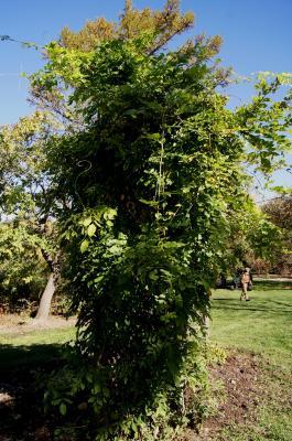 Wisteria sinensis (Chinese Wisteria), habit, fall