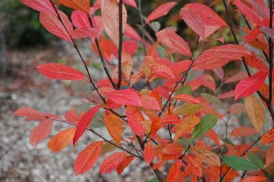 Aronia arbutifolia 'Brilliantissima' (Brilliant red chokeberry), leaves
