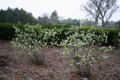 Amelanchier stolonifera Wiegand (running serviceberry), habit