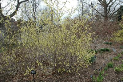 Corylopsis spicata Siebold & Zucc. (spiked winter-hazel), habit