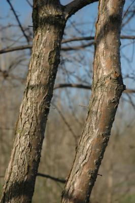 Chionanthus retusus Lindl. & Paxt. (Chinese fringe tree), bark, mature