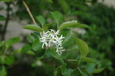Chionanthus retusus Lindl. & Paxt. (Chinese fringe tree), flowers, full