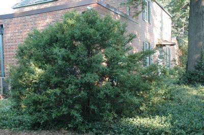 Buxus microphylla var. koreana Nakai ex. Wils. (Korean boxwood), habit