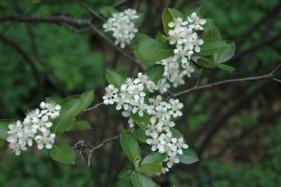 Aronia arbutifolia 'Brilliantissima' (Brilliant red chokeberry), inflorescence