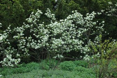 Aronia arbutifolia 'Brilliantissima' (Brilliant red chokeberry), habit