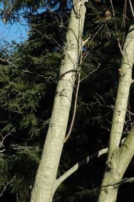 Alnus incana (L.) Moench. (European white alder), bark, mature