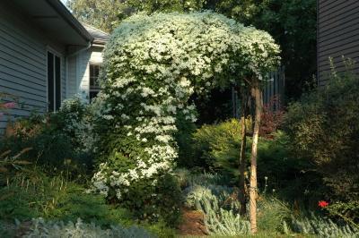 Clematis terniflora DC. (sweet autumn clematis), habit