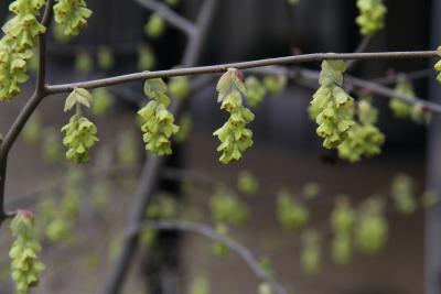 Corylopsis spicata Siebold & Zucc. (spiked winter-hazel), inflorescence