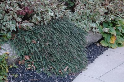 Cotoneaster adpressus Bois (creeping cotoneaster), habit