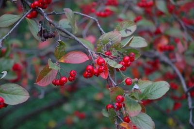 Aronia arbutifolia 'Brilliantissima' (Brilliant red chokeberry), fruit, mature