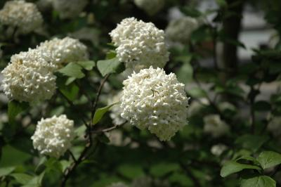 Viburnum ×carlcephalum Burkwood (fragrant snowball), inflorescence
