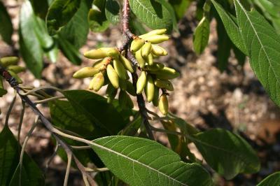 Leitneria floridana Chapm. (corkwood), infructescence