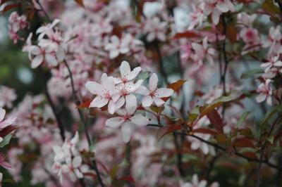 Prunus ×cistena (Hansen) Koehne (purple-leaved sand cherry), flowers, full