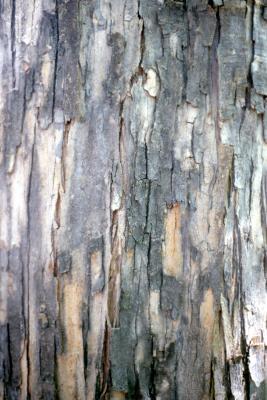 Acer buergerianum Miq. (trident maple), bark