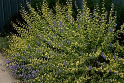 Caryopteris incana 'Jason' (SUNSHINE BLUE® hoary bluebeard), habit