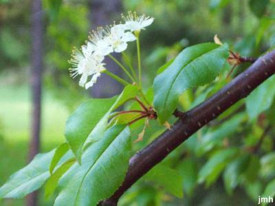 Prunus pensylvanica L. f. (pin cherry), flower