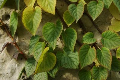 Schizophragma hydrangeoides 'Moonlight' (Moonlight Japanese hydrangea-vine), leaves