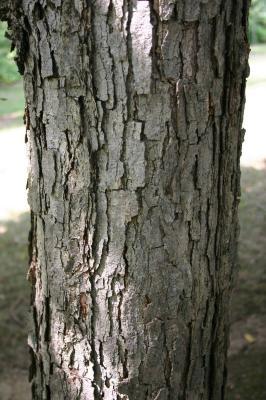 Quercus michauxii Nutt. (swamp chestnut oak), bark, mature