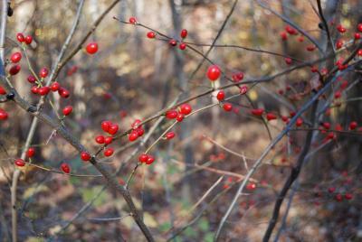 Lindera benzoin (L.) Blume (spicebush), infructescence