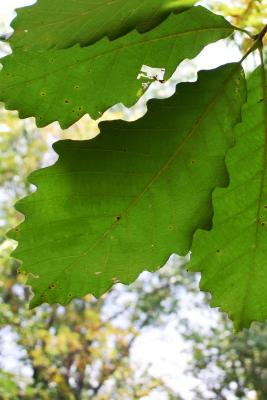 Quercus michauxii Nutt. (swamp chestnut oak), leaves, lower surface