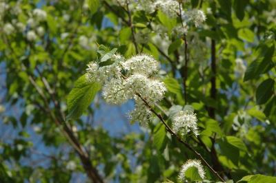 Prunus maackii Rupr. (Amur cherry), inflorescence