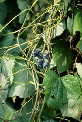 Menispermum canadense L. (moonseed), fruit