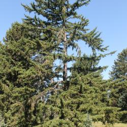 Koyama spruce at The Morton Arboretum