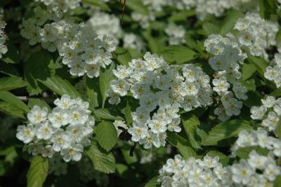 Crataegus punctata Jacq. (dotted hawthorn), flowers, full