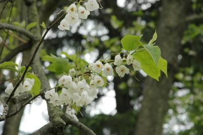 Halesia carolina L. (Carolina silverbell), flowers, full